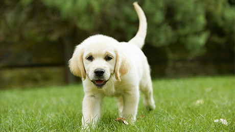 Labrador puppy outside